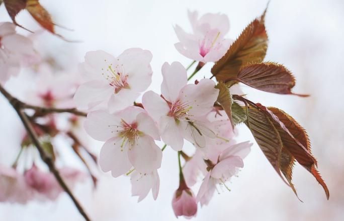 フランス語桜